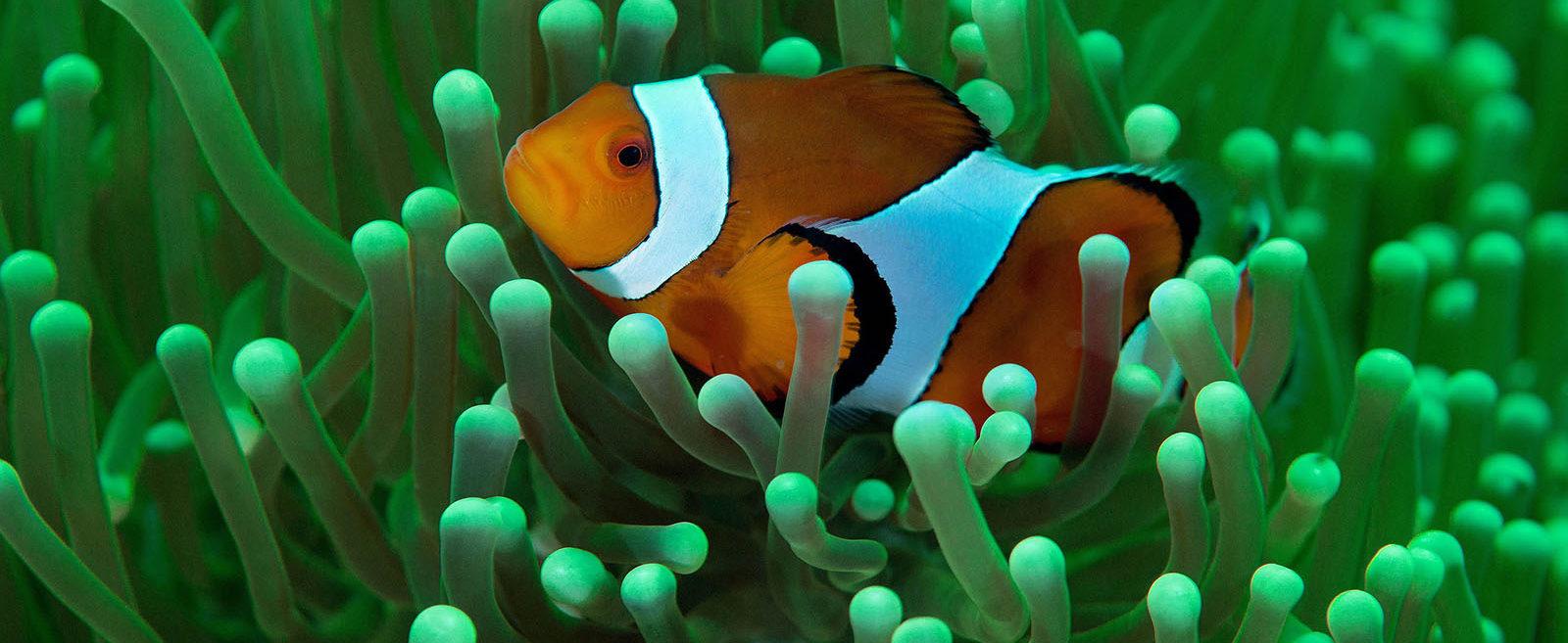 Philippines, Moalboal, Anemone Fish