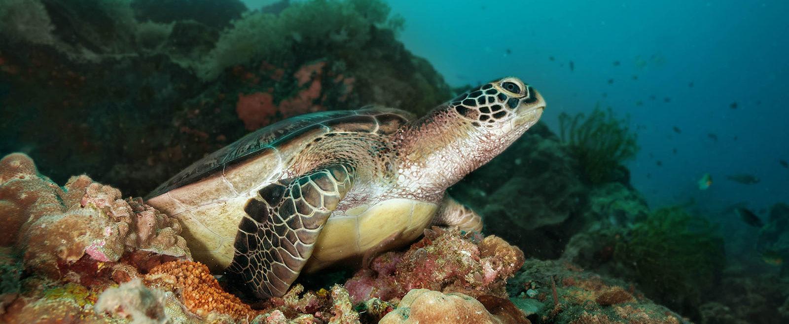 Philippines, Moalboal, Turtle