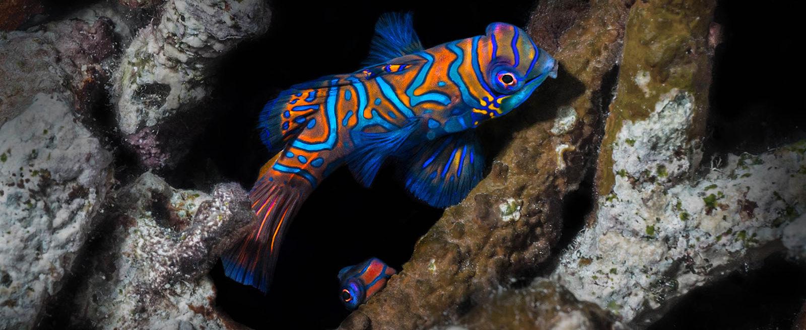 Philippines, Moalboal, Mandarin Fish