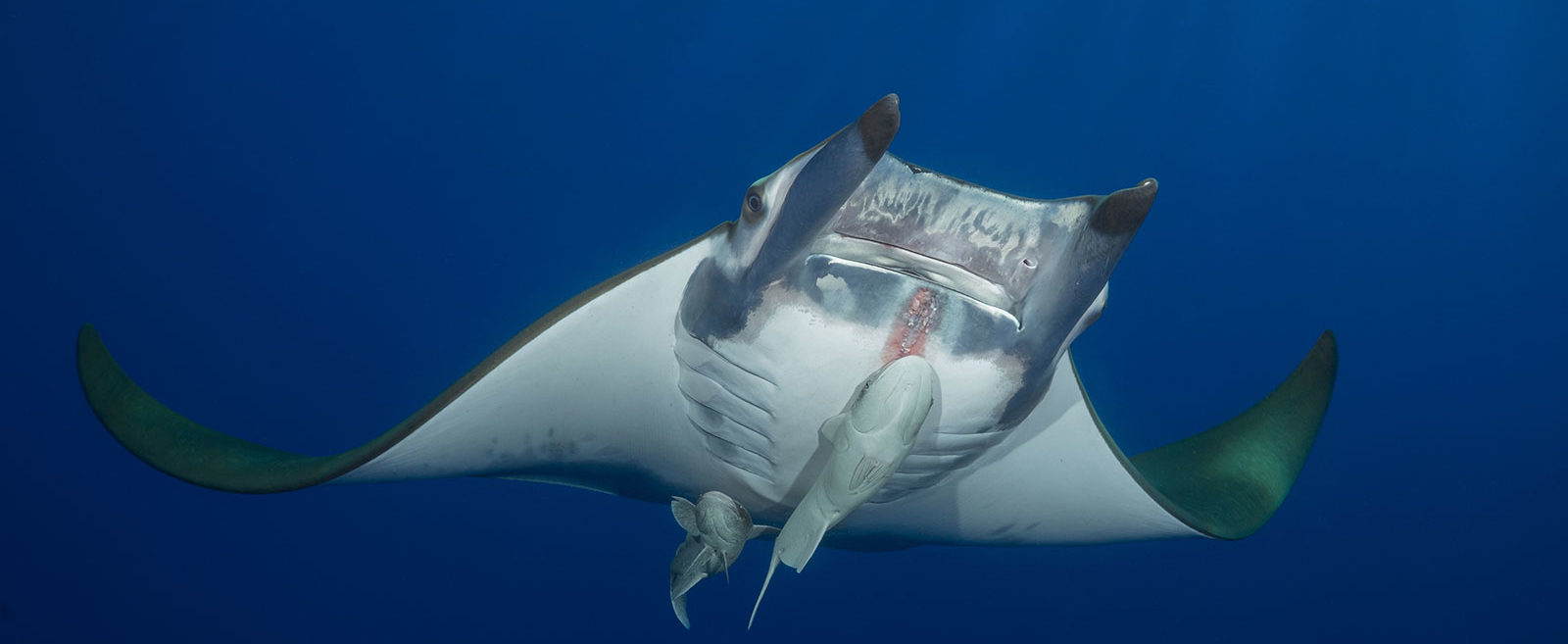 Azores, Princess Alice Banks, Manta Ray