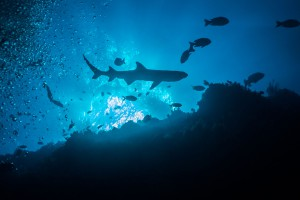 Philippines, silhouette of white tip reef shark at Tubbataha Reef