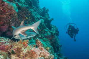 Philippines, white tip reef shark with diver at Tubbataha Reef