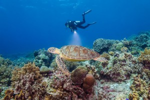 Philippines, turtle with diver at Tubbataha Reef