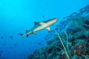 Philippines, white tip reef shark at Tubbataha Reef
