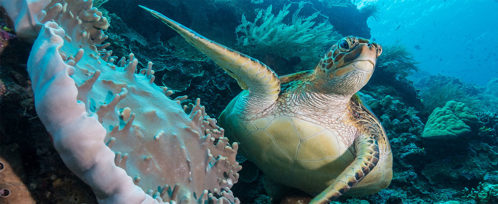 Indonesia, Manado, Bunaken, Island, Turtle